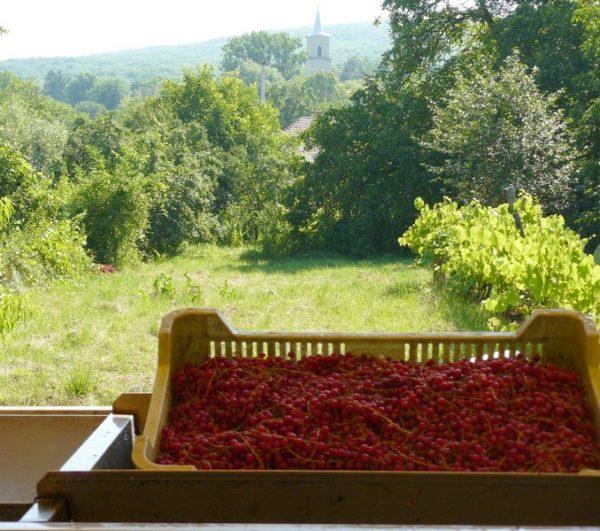 Piros ribizli ládában, templomtoronnyal