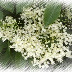 Bodzavirág szörp – 3kg