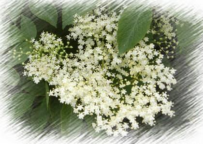 Bodzavirág képe